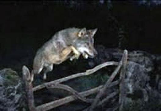 Баянзүрх дүүрэгт галзуу чоно мал руу дайрчээ